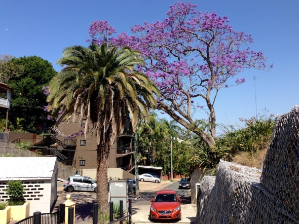 The doomed, leaning Jacaranda